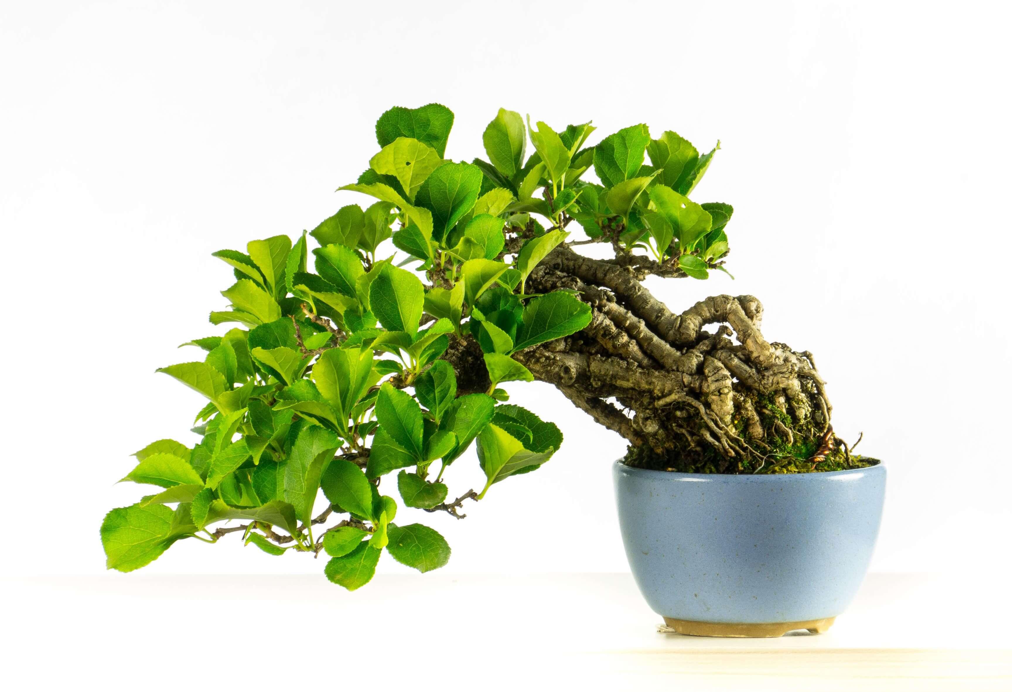Tienda de bonsais herramientas macetas cultivo para bonsais bonsai sense - Cultivo de bonsai ...