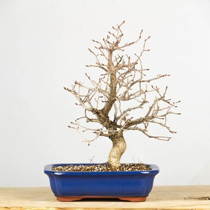Bonsai Carpinus Laxiflora