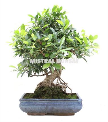Bonsai de Ficus Retusa
