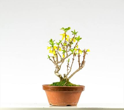Bonsai Forsythia procedente de Japón