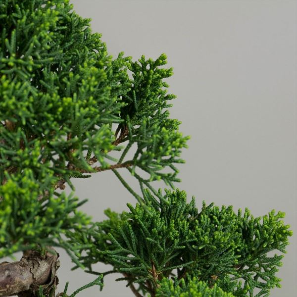 Juniperus Chinensis (1)