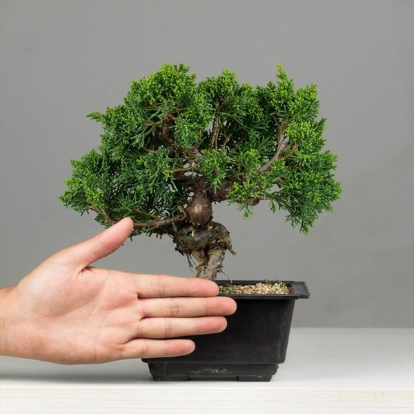 Juniperus Chinensis (2)