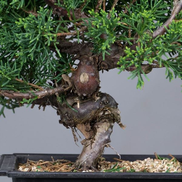 Juniperus Chinensis (3)