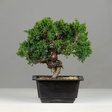 Bonsai de Juniperus chinensis
