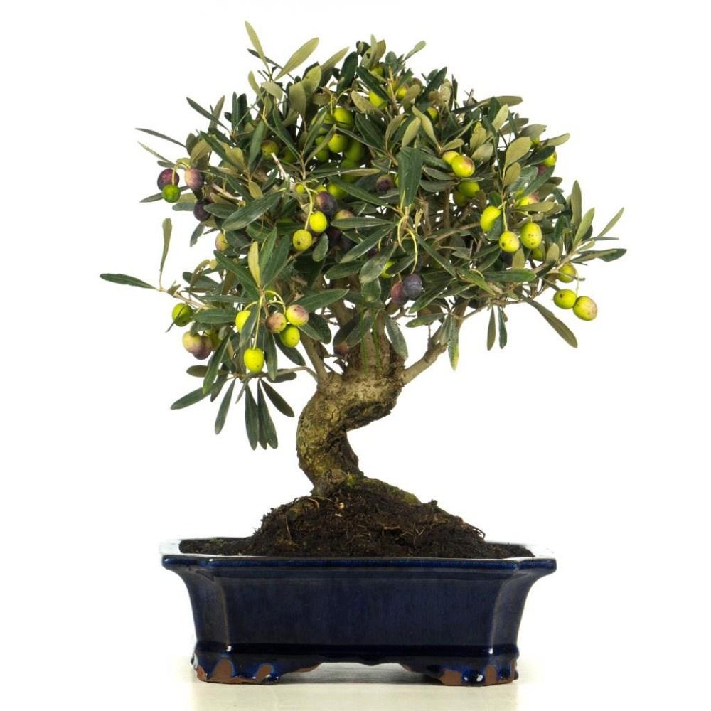 come curare un bonsai di olivo - Fare Bonsai
